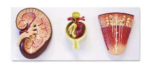 Walter® Kidney Nephron And Glomerulus