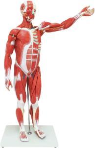 Walter® 27 Part Muscular Figure