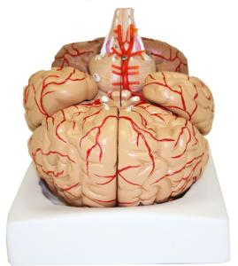 Walter® 9 Part Brain Arteries