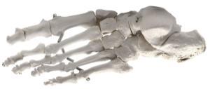 Eisco® Individual Bones