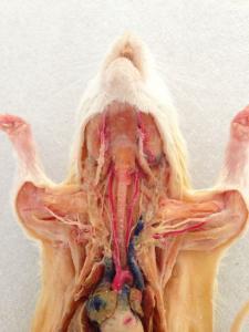 Plastinated Rat Dissection