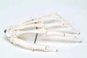 3B Scientific®  Wire Mounted Hand Skeleton
