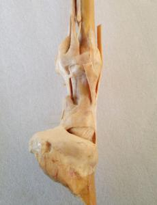Plastinated Equine Limbs And Joints