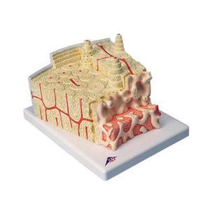 3B Scientific® MICROanatomy™ Bone Structure Model