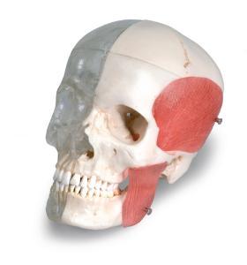 3B Scientific® BONElike™ Combination Skull