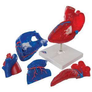 3B Scientific® Magnetic Heart Model