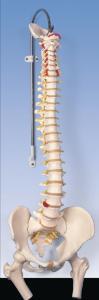 3B Scientific® Flexible Spine With Femurs Heads
