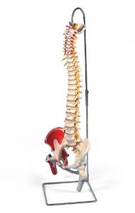 3B Scientific® Deluxe  Flexible Spines