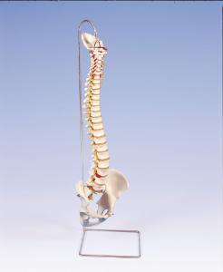 3B Scientific® Lifetime Flexible Spine