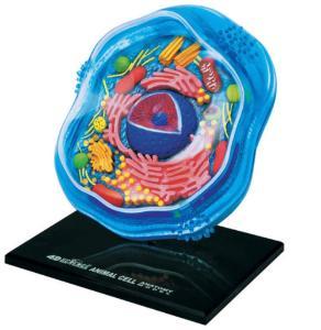 4D Animal Cell Model