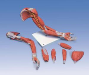 3B Scientific® Muscled Arm