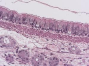 Pseudostratified, Ciliated, Columnar Epithelium, Hematoxylin and Eosin