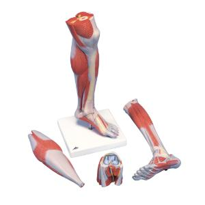 3B Scientific® Muscled Lower Leg And Knee