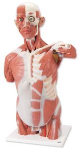 3B Scientific® Muscled Torso
