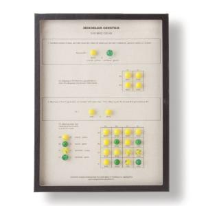 Mendelian Genetics - Dihybrid Cross
