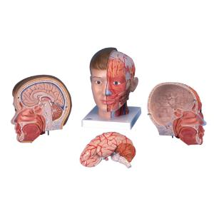 3B Scientific® Head With Neck