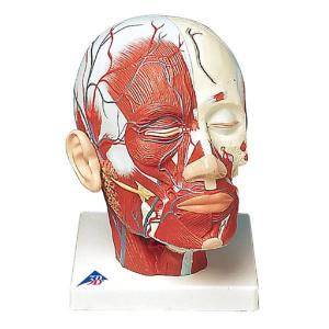 3B Scientific®  Head Musculature With Blood Vessels
