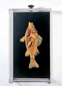Freeze-Dried Perch Museum Mount