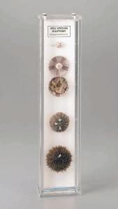 Sea Urchin Anatomy Museum Mount