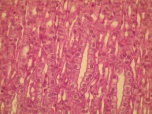 Simple Cuboidal Ephitelium Slide, Hematoxylin and Eosin