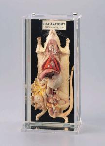Ward's® Rat Anatomy Museum Mount