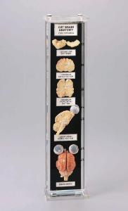 Cat Brain Anatomy Museum Mount
