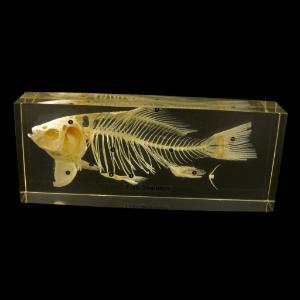 Fish skeleton plastomount