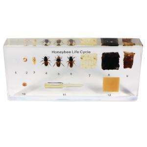 Honey bee life cycle plastomount