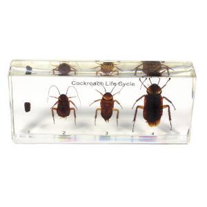 Cockroach life cycle plastomount