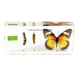 Butterfly life cycle plastomount