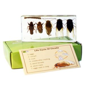 Cicada life cycle plastomount