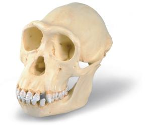 Chimpanzee Skull Female Replica