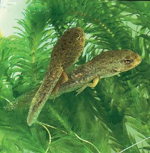 Live Bullfrog Tadpoles (<i>Rana catesbeiana</i>)