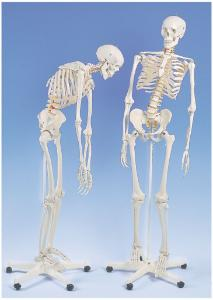 3B Scientific® Flexible Skeleton With Roller Stand