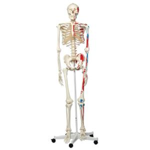 3B Scientific® Painted Skeleton