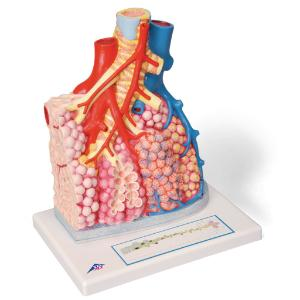 3B Scientific® Pulmonary Lobule And Blood Vessels
