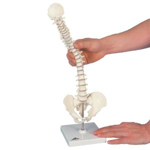 3B Scientific® Miniature Bones