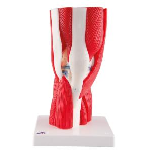Muscled Knee Joint