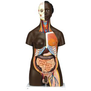 3B Scientific® Dual-Sex Torso with African Features