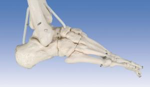 3B Scientific® Functional Physiological Skeleton