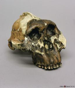 <i>A. boisei</i> OH 5 (Zinjanthropus)