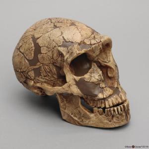 <i>H. neanderthalensis</i> (La Ferrassie 1)