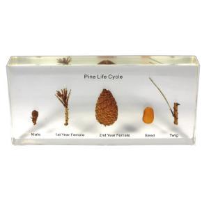 Large pine life cycle plastomount