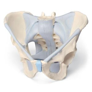 3B Scientific® Male Pelvis and Ligaments
