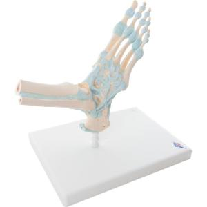 3B Scientific® Foot Skeleton with Ligaments