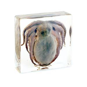 Large Octopus plastomount