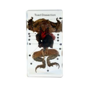 Small toad dissection plastomount