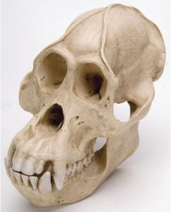 Orangutan Skull Male Replica