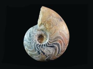 Manticoceras sinuosum (Devonian)
