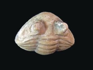 Asaphus lepidurus (Ordovician)